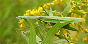 Goldenrod Flowers Prints - Praying Mantis in September Print by Anna Lisa Yoder