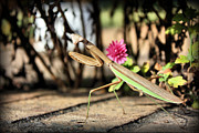 Praying Mantis Framed Prints - Praying Mantis Framed Print by Kristin Elmquist