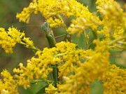 Goldenrod Flowers Prints - Praying Mantis on Goldenrod Print by Anna Lisa Yoder