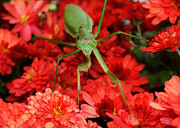 Denise Beverly - Praying Mantis on Zinnia