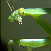 Hunter Green Prints - Praying Mantis Print by Paul Ward