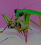 Etc. Art - Praying Mantis  Predator of Insects  1 of 2 by Leslie Crotty