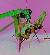 Quick Prints - Praying Mantis  Predator of Insects  2 of 2 Print by Leslie Crotty