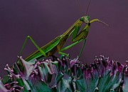 Lizards Posters - Praying Mantis  Time for a cleaning Poster by Leslie Crotty