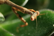 Charles Shedd - Praying Mantis Upclose