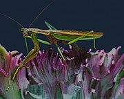 Quick Prints - Praying Mantis  walking carefully on a cactus plant Print by Leslie Crotty