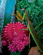 Lizards Posters - Praying Mantis  walking on a Cactus Plant Poster by Leslie Crotty