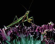 Quick Posters - Praying Mantis  walking on cactus plant looking at me Poster by Leslie Crotty