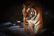 Zoos Framed Prints - Precious Framed Print by Karol  Livote