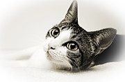 Felines - Precious Kitty by Andee Photography
