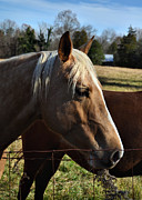 Farm Photos - Precious the Palomino - 51008321d by Paul Lyndon Phillips