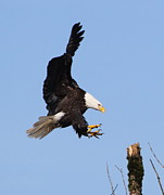 Bald Eagle Framed Prints - Precision Landing Framed Print by Angie Vogel