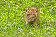 Youthful Photos - Predator in The Making by Ashley Vincent