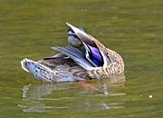 Susan Leggett - Preening Duck