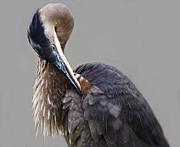 Paulette  Thomas - Preening Great Blue Heron