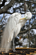 Florida Wildlife Photography Prints - Preening Great Egret Print by Bruce Gourley
