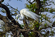 Preening Great Egret Print by Robert Carney