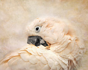 White Cockatoo Framed Prints - Preening Framed Print by Jai Johnson
