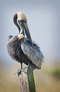 Brown Pelican Prints - Preening Pelican Print by Bonnie Barry