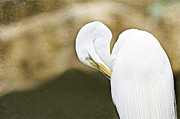 Egret Framed Prints - Preening Framed Print by Rebecca Cozart