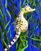 Marian Cates Metal Prints - Pregnant Male Seahorse Metal Print by Marian Cates