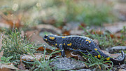 Fire Salamander Photos - Prehistoric Beast Through the Grass - Fire Salamander by Jivko Nakev