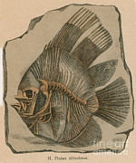 Prehistoric Fish Platax Altissimus Print by Science Source