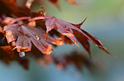 Red Maple Leaves Prints - Prelude To Fall Print by Fraida Gutovich