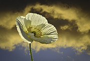 Poppy Gifts Metal Prints - Prelude to Spring - Fine Art by Lynn Bauer Metal Print by Lynn Bauer
