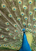 Peafowl Photos - Pretentious Peacock by Sabrina L Ryan