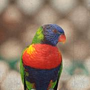 Pretty Bird - Rainbow Lorikeet Print by Kim Hojnacki