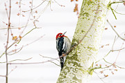Woodpecker Posters - Pretty Bird Poster by Rebecca Cozart