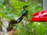 Blue Claws Prints - Pretty Blue-Tailed Hummer in Mindo Print by Al Bourassa