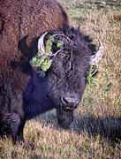 Bison Pyrography - Pretty Boy by Nena Trapp