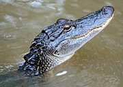 Alligator Bayou Photos - Pretty Gator by Carol Groenen