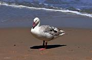 Susan Wiedmann - Pretty Goose Posing on Monterey Beach