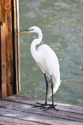 Egret Metal Prints - Pretty Great Egret Metal Print by Carol Groenen