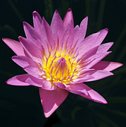 Sabrina L Ryan - Pretty in Pink and Yellow Water Lily