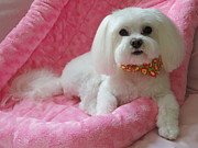 Maltese Dog Posters - Pretty in Pink Poster by Mary Beth Landis