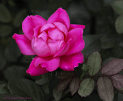 Flowers Photos - Pretty in Pink Rose Flower by Claudette DeRossett