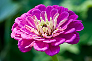 Macro Flower Photography Prints - Pretty In Pink Print by Terry Elniski