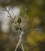 Canary Metal Prints - Pretty Little Bird Metal Print by Thomas Young