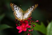 Pretty Little Butterfly  Print by Saija  Lehtonen