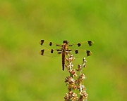 Yellow Dragonfly Posters - Pretty Painted Poster by Al Powell Photography USA