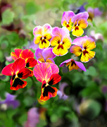 Bruce Nutting - Pretty Pansies 5