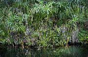 Papyrus Photos - Pretty Papyrus on Pond 2 by Rich Franco