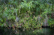 Papyrus Photos - Pretty Papyrus on the Pond by Rich Franco
