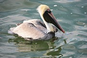 Pretty Pelican In Pond Print by Carol Groenen