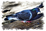 Cindy Nunn - Pretty Pigeon 1