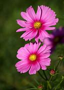 Sabrina L Ryan - Pretty Pink Cosmos Twins